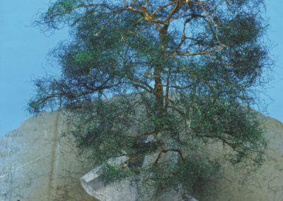 19 – Les touffes sont collées les unes au-dessus des autres jusqu'au sommet de l'arbre.